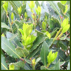 Golden seal Laurel Bay Leaf